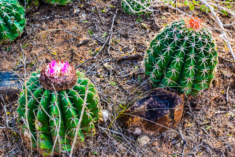 Cactus con flores. Beauty In Nature Botany Cactus Cactus Cactus Flower Cactuslover Close-up Day Field Fragility Grass Green Green Color Ground Growing Growth Leaf Multi Colored Natural Pattern Nature No People Outdoors Plant Thorn Tranquility