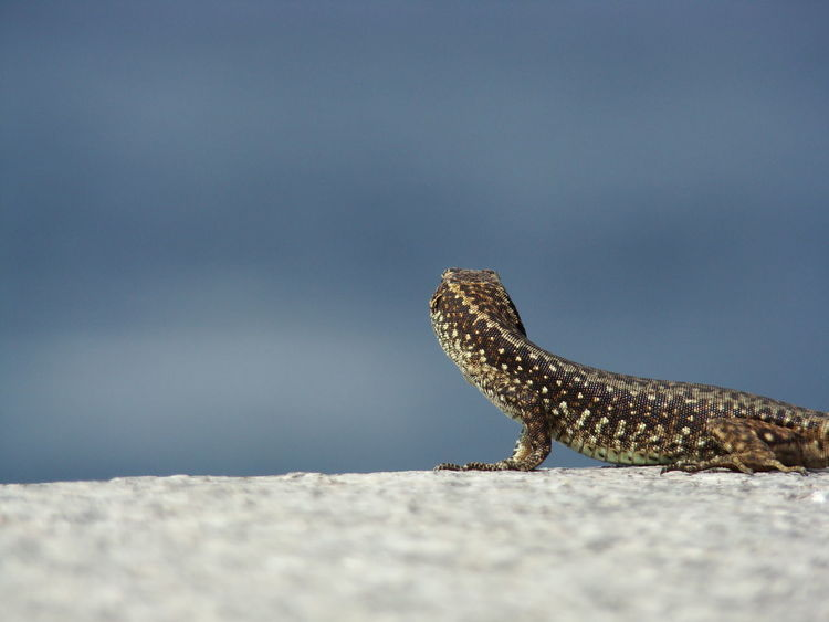 What's out there? Little gecko looks into clear blue sky Copy Space Animal Themes Animal Wildlife Animals In The Wild Behind View Close-up Copyspace Day Nature No People One Animal Outdoors Reptile Sky View From Behind Perspectives On Nature Urban Fashion Jungle