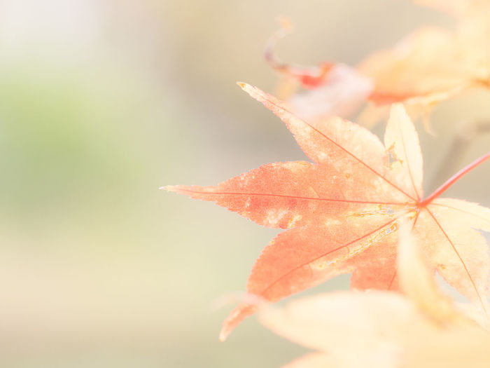 Plant Part Leaf Autumn Close-up Beauty In Nature Change Nature Focus On Foreground Plant Selective Focus Vulnerability  No People Fragility Orange Color Day Leaf Vein Outdoors Growth Freshness Sunlight Leaves Maple Leaf Natural Condition Fall