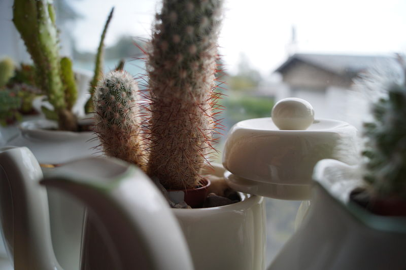 Close-up of cacti in vases