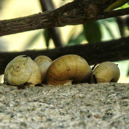 Snails🐌 Ants EyeEm Best Shots - Nature Walking Around Santorini Perissa Greek Islands Snails On A Wall Snail Collection