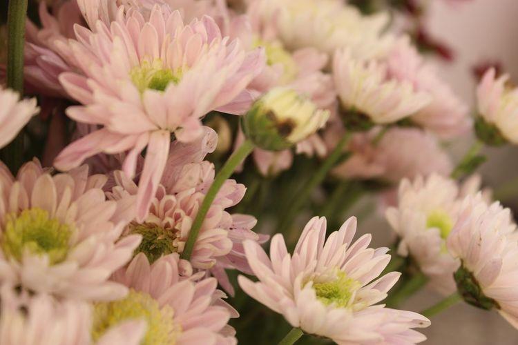 Close-up of pink chrysanthemums