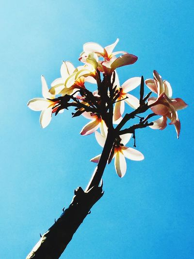 plumeria Thailand Flower Plumeria Petal Fragility No People Growth Nature Blooming Clear Sky Beauty In Nature Freshness Day Tree Sky