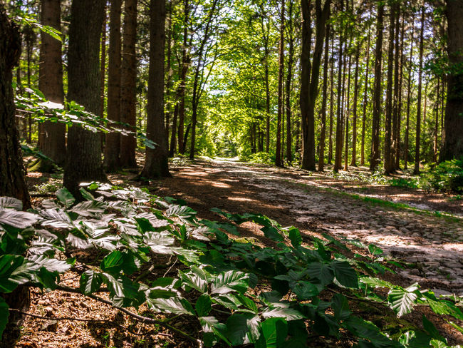 Beech Day Fagus Footpath Forest Forest Track Green Color Growth Outdoors Plant The Way Forward Tree Tree Trunk