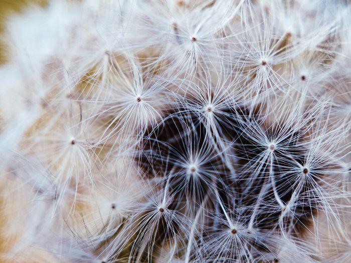 Full frame shot of white dandelion