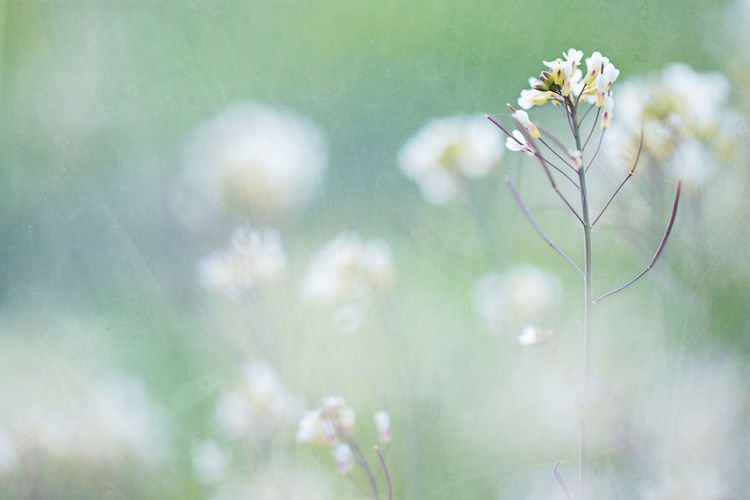 Backgrounds Close-up Flowers Green Color Light Green Nature Naturelovers Soft Softness Summertime White Flowers Wildflower Flower Photography Macro Fluffy Fine Art Photography