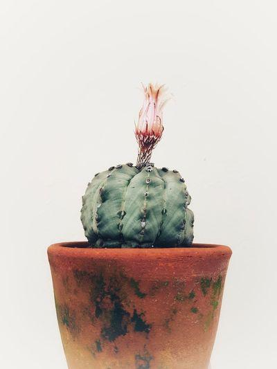 cactus,flower