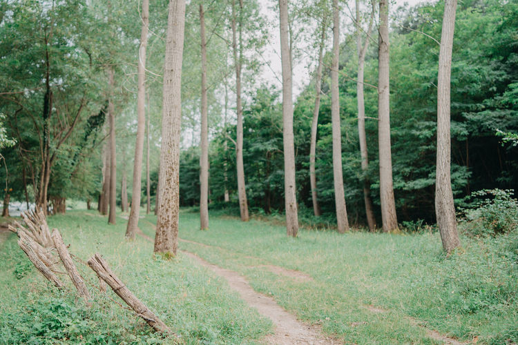 Beauty In Nature Coniferous Tree Day Environment Evergreen Tree Footpath Forest Green Color Growth Land Landscape Nature No People Non-urban Scene Outdoors Pine Tree Pine Woodland Plant Shalow Tranquil Scene Tranquility Tree Tree Trunk Trunk WoodLand