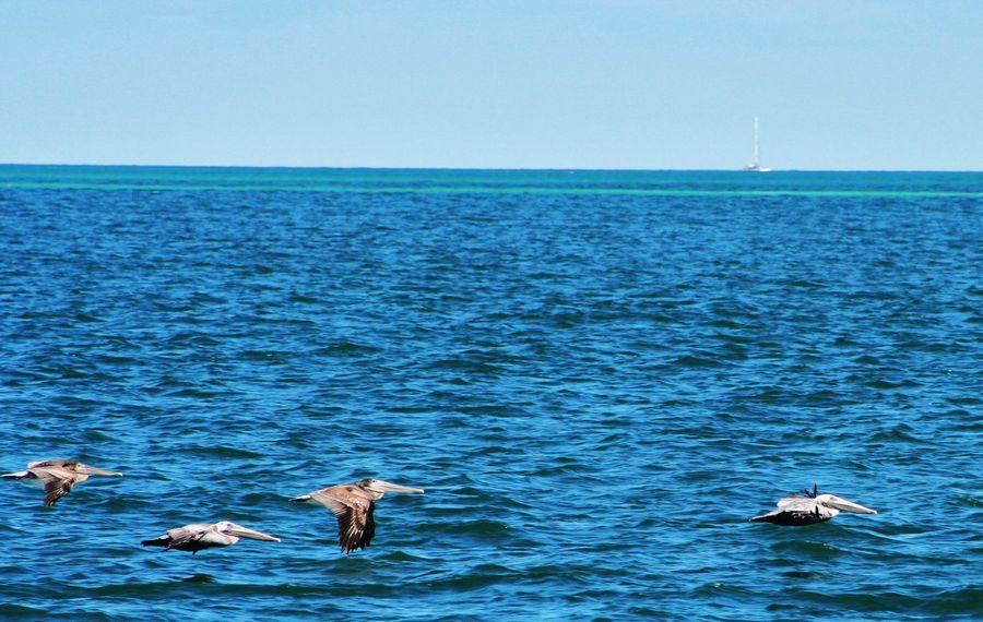 Cuba Collection Animal Themes Animal Wildlife Animals In The Wild Art Beauty In Nature Bird Flying Horizon Over Water Nature Pelican Sea Sky Water Ysa Ysa Art