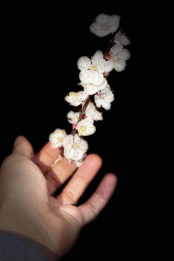 Close-up of hand holding flowering plant against black background