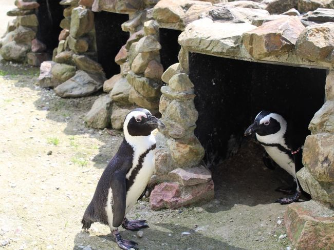 No People Day Outdoors Beach Nature Water Animal Themes Pinguin Pinguins  Pinguine Pinguins  Animal