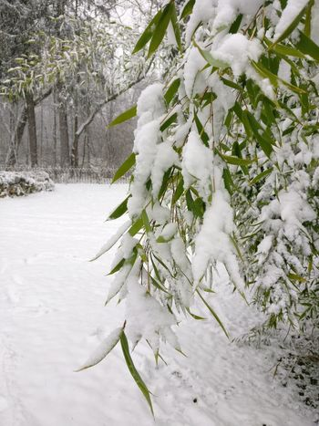 Winter Snow Nature Branch Growth Frozen Beauty In Nature Plant No People Snowing Snowflake Bamboo Bamboo Leaf Bamboo In Snow Bamboo In Winter Outdoors Cold Temperature Tree Fragility Scenic Landscapes Winterwonderland Winter Wonderland Leaves In Snow Freshness Weather