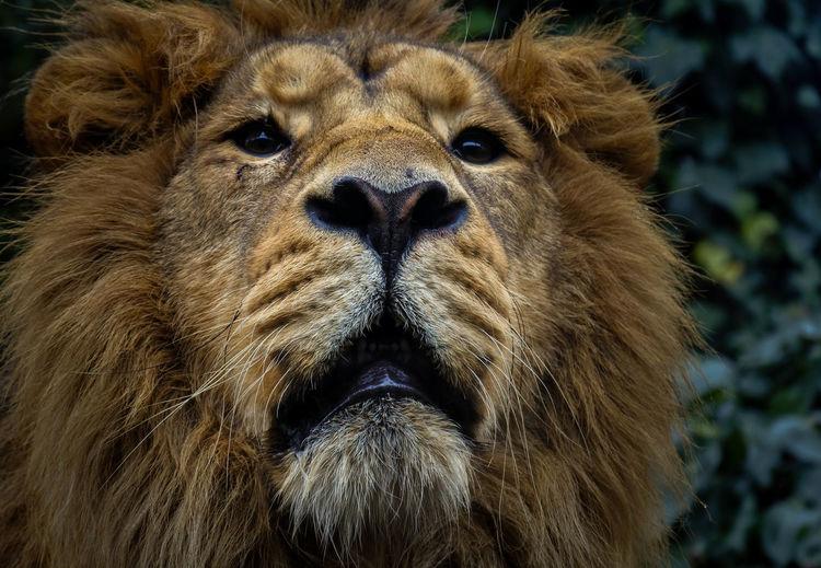 Majestic Lion Lion Zoo Animal Animal Wildlife Big Cat Cat Close-up Feline Lion - Feline Mammal