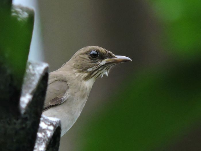 Low angle view of creamy-bellied thrush perching on sheet