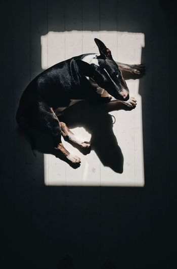 Dog Pets Domestic Animals One Animal Indoors  No People Sunspot Bullterrier