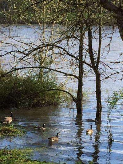 Geese Water