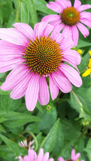 Flower Plant Pink Color Fragility Petal Flower Head Nature Freshness Eastern Purple Coneflower Beauty In Nature Coneflower Pollen Day Outdoors No People Growth Close-up Blooming