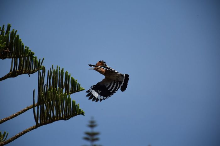 Photography Low Angle View Clear Sky Bird Animals In The Wild Animal Themes Flying Animal Wildlife One Animal Spread Wings Outdoors Day Tree Nature Sky Beauty In Nature Photography In Motion Photography Hoopoe