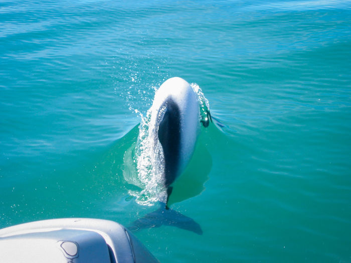 Commerson's Dolphin Dolphins Tierra Del Fuego Ushuaïa Argentina Black Cetacean Dolphin Mammal Marine Motion Nature Ocean Patagonia Sea Sea Life Swim Swimming Underwater Water White Wild Wildlife Perspectives On Nature