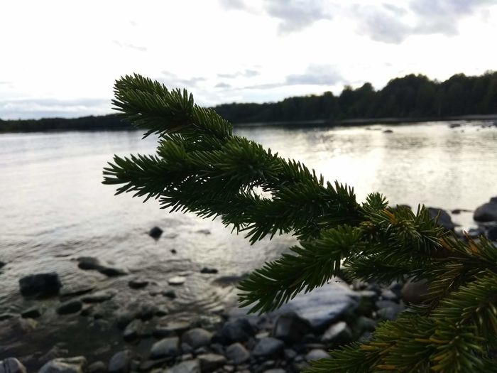 Close-up of pine tree by lake against sky