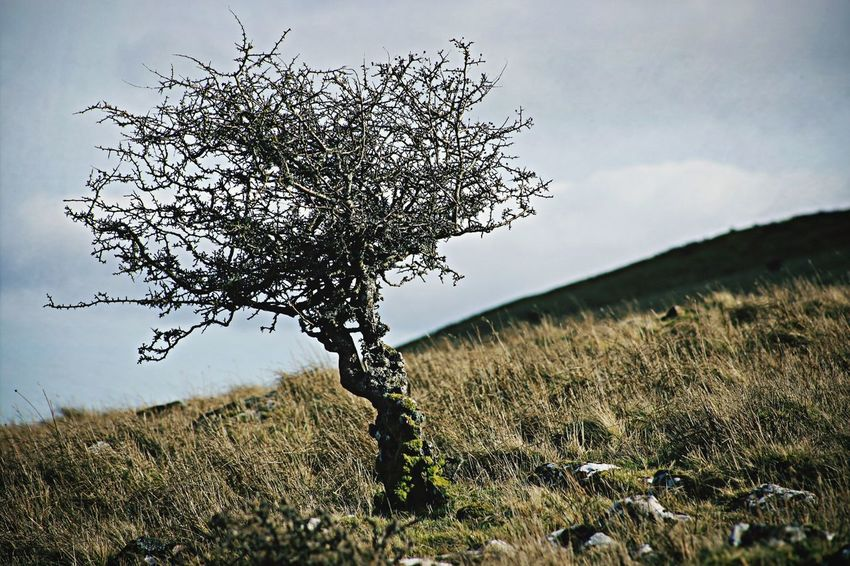 Weather beaten Nature Benbradagh Lone Tree Lonely Place