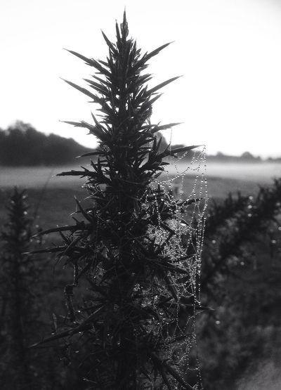Black & White Dewdrops Macro Nature