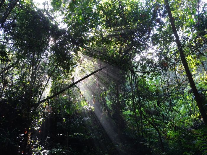 Malaysia Forest Sunrays Through The Branches Trekking Beauty In Nature Forest Growth Low Angle View Nature Outdoors Sun Rays Through Trees