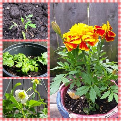 Glad I got them in the dirt yesterday! Though I still have to put my huckleberries in still.. Tomatoes Celery Strawberries Marigold nofilter springtime picoftheday oregon gardening flowers growyourfood