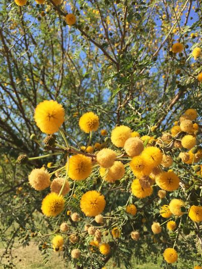 Bouquet of sunshine Summer Plant Growth Yellow Beauty In Nature Flowering Plant Flower Tree No People Fragility Vulnerability  Low Angle View Freshness Flower Head Close-up Outdoors Day Inflorescence Blossom Land Nature
