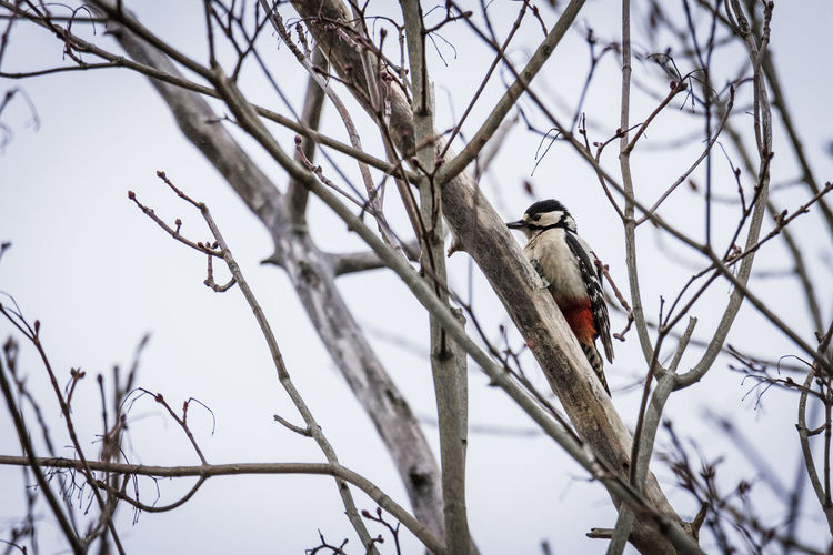 large Woodpecker Bird Vertebrate Branch Animals In The Wild Animal Wildlife Tree Animal Themes Perching Animal One Animal Bare Tree Plant Low Angle View No People Day Nature Sky Selective Focus Outdoors Focus On Foreground Woodpecker