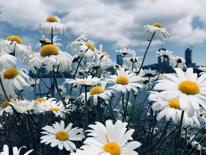 Close-Up Of White Flowering Plants On Field Against Sky