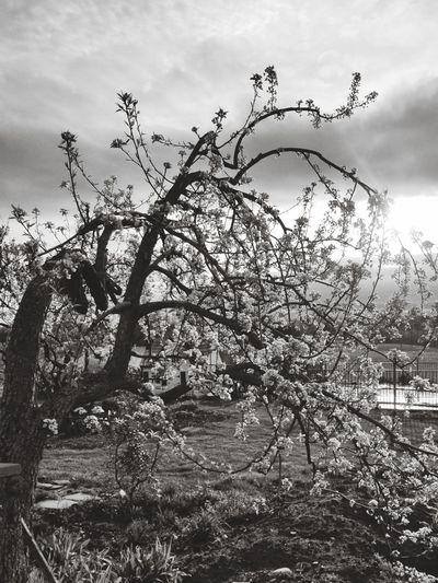 pear tree Pear Blossom Tree Sky Growing Branch Blooming Flower Tree In Bloom Petal Twig Tree Trunk