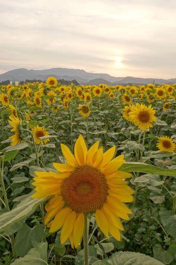 Marumori Sunflower Eos5d