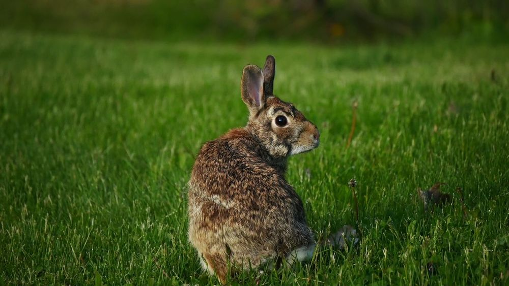 Animals gone wild Animals In The Wild Springtime Mammal Animal Wildlife Grass Animal Hair Outdoors Green Color Looking At Camera Nature Ear Close-up Animal Jack Wild Rabbit Brown Wildlife Brown Rabbit Easter Happy Easter Premium Collection The Great Outdoors - 2017 EyeEm Awards