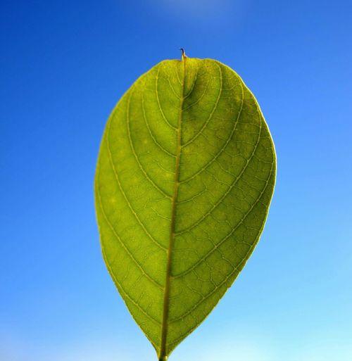 La feuille Leaf Leafs Bluesky Green Macro Beauty Macro Macro Nature Made In Mauritius Mauritian Leaf