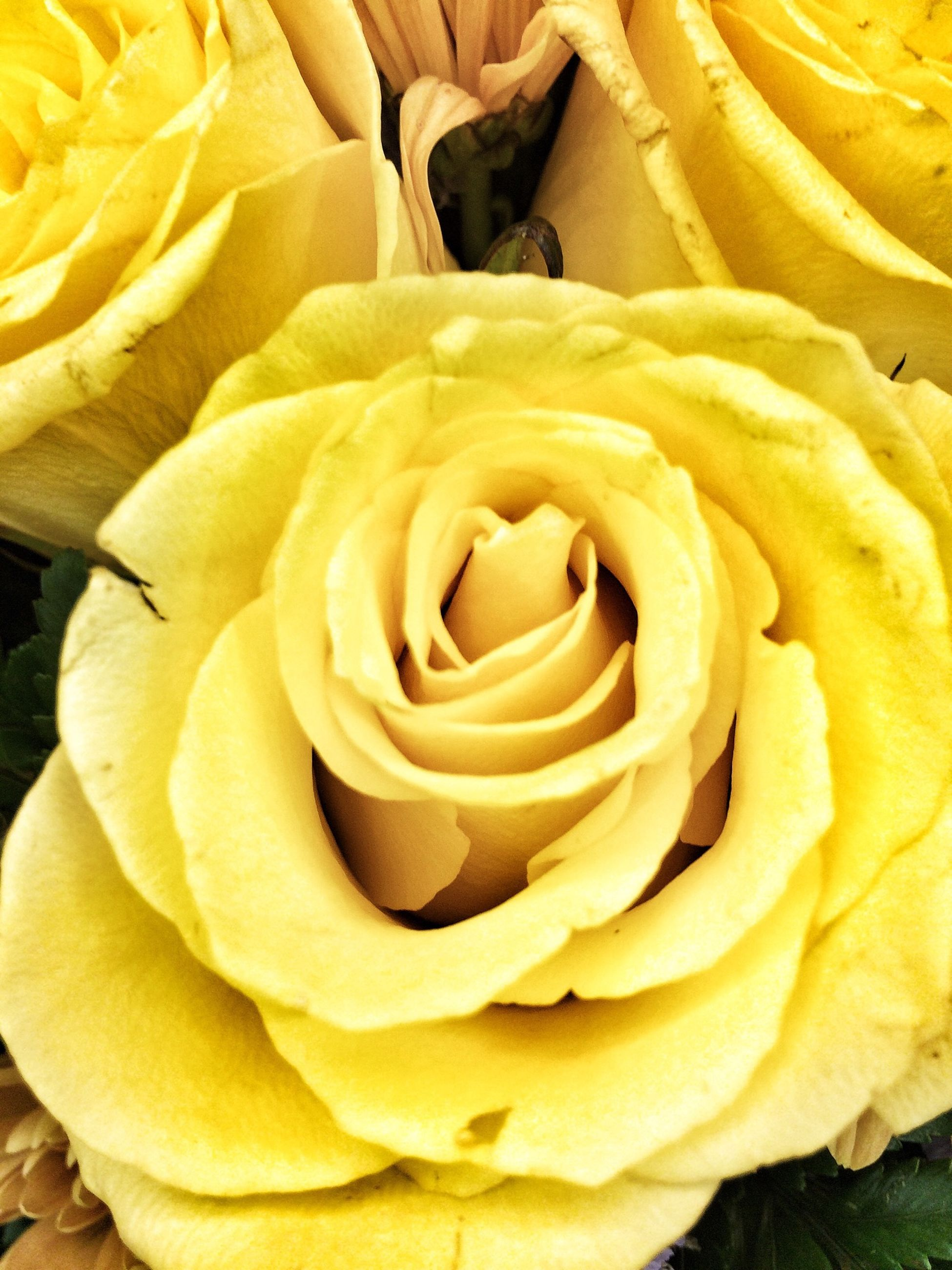 flower, petal, flower head, freshness, rose - flower, fragility, yellow, beauty in nature, close-up, growth, full frame, nature, single flower, blooming, backgrounds, natural pattern, rose, high angle view, in bloom, single rose