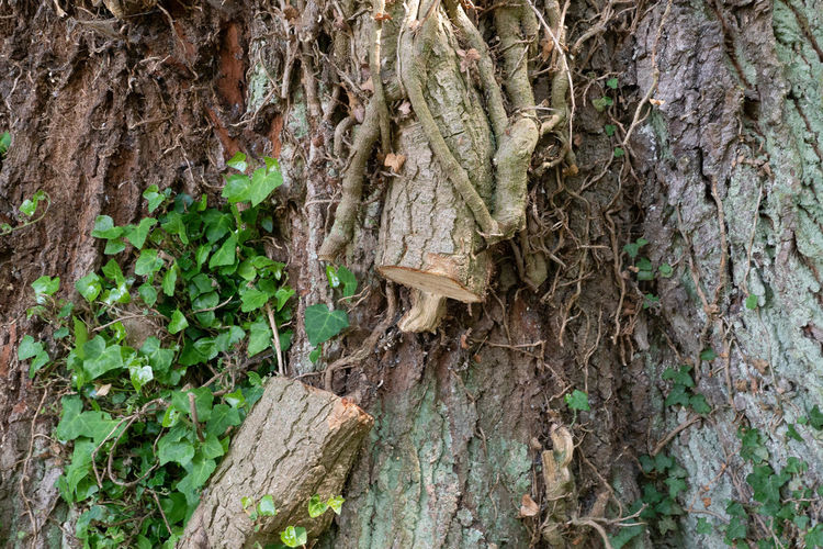 close-up of ivy
