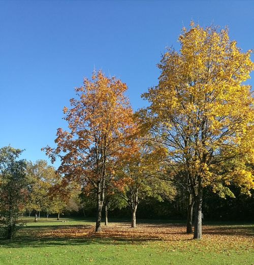 Trees in park during autumn against clear blue sky