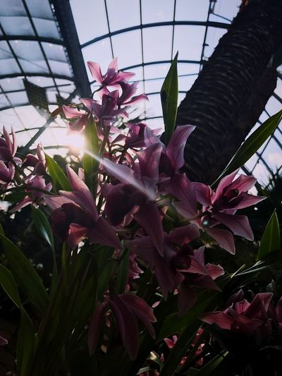 Orchid Sunray