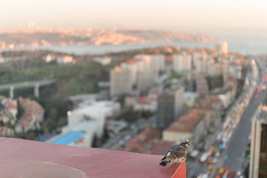Not a pigeon for no mere pigeon may scale these heights. (uncropped version) Animal Themes Animals In The Wild Architecture Bird Bokeh Bokeh Balls Busy Street City City Life Cityscape Dusk Fine Art Focus On Foreground High Angle View Istanbul Istanbul City Nature No People One Animal Outdoors Pigeon Sky Sunset Sunset Silhouettes Sunset_collection The Architect - 2017 EyeEm Awards Live For The Story Sommergefühle