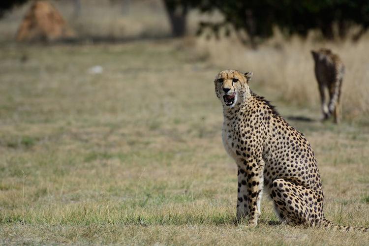 A saved cheetah in cradle of life, badplaas, south africa