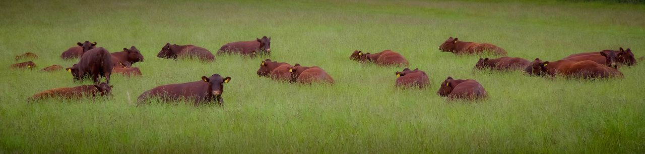 Group Of Animals Animal Themes Plant Animal Mammal Grass Field Land Livestock Nature Domestic Animals Animal Wildlife Green Color Panoramic Animals In The Wild Agriculture Vertebrate No People Large Group Of Animals Domestic