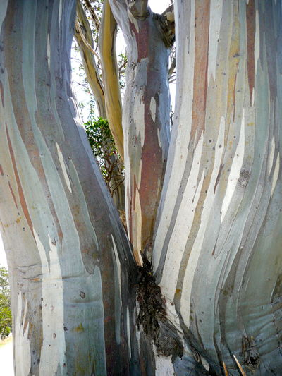 Bark Texture Bark Texture Background Close-up Delicate Colours Eucalyptus Tree Bark Eucalyptus Trees Nature Outdoors Pattern, Texture, Shape And Form Patterns In Nature Snow Gum Bark Snow Gum/Eucalyptus Tree Textured  Tree Tree Trunk