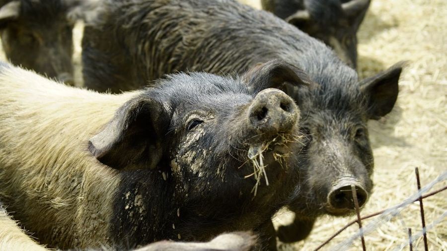 Mammal Livestock Animal Themes Domestic Animals Pig No People Day Outdoors Close-up Nature