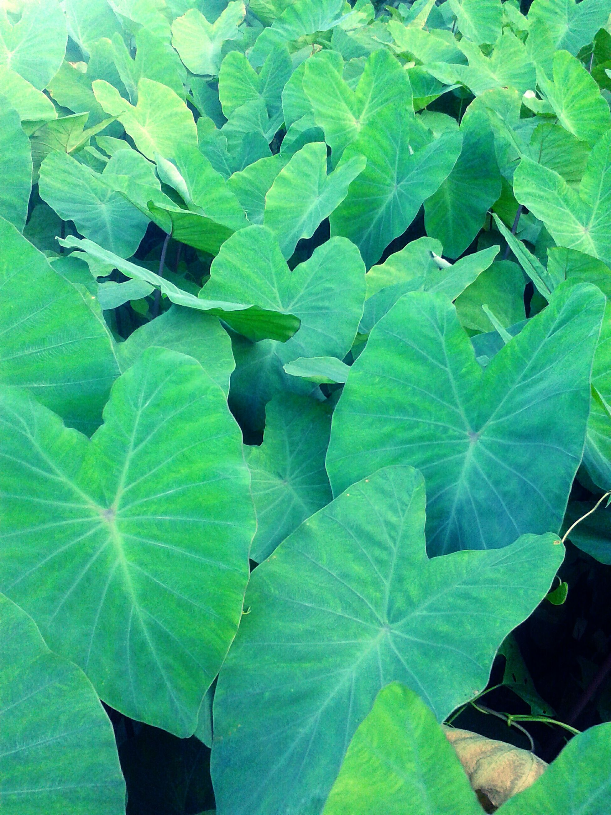 leaf, green color, leaf vein, leaves, growth, plant, full frame, high angle view, nature, close-up, backgrounds, natural pattern, green, freshness, beauty in nature, day, no people, outdoors, tranquility, lush foliage