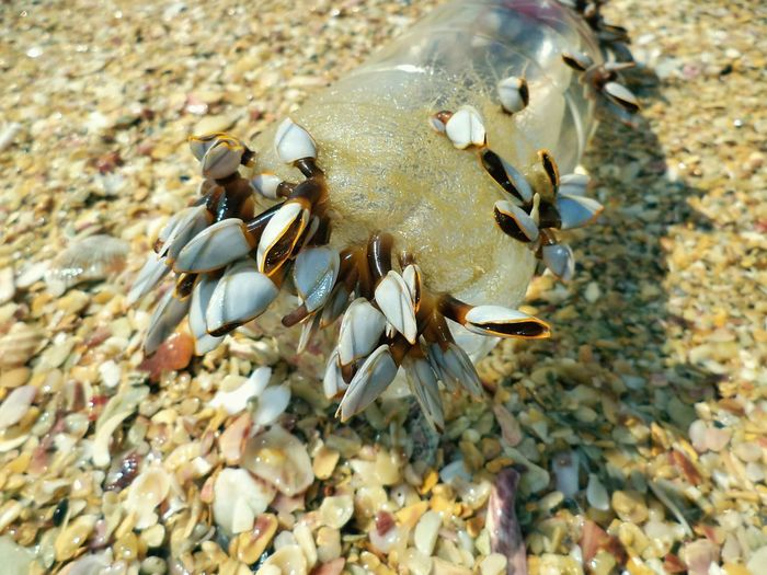 Beach Nature Sand Animal Themes High Angle View Seashell Animals In The Wild Sea Life Animal Wildlife Close-up No People Outdoors Pebble Day Beauty In Nature Barnacles_stones_seawater :) Adapted To The City