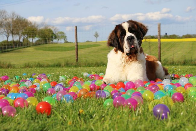 beautiful saint bernard portrait in colorful balls in the garden Bernhardiner Saint Bernard Dog Animal Themes Balls Cloud - Sky Day Dog Domestic Animals Field Garden Grass Heart Idyllic Mammal Multi Colored Nature No People One Animal Outdoors Pets Rapeseed Saint Bernard Sky Spring Sunny Day