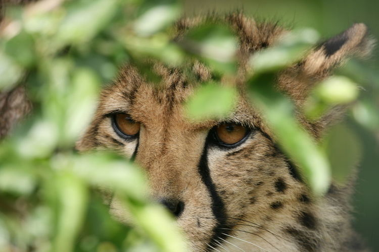 Close-Up Portrait Of Cheetah By Plant