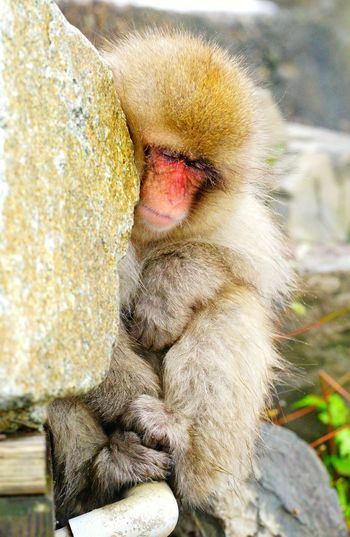 Rest. My Japan Journey Snow Snow Monkey Baby Resting Japan Japan Photography Japanese Macaque Japan Scenery Animal Animal Themes Animals In The Wild Animal Wildlife Nature Nature_collection Portrait Vacation Traveling Travel Sony Vacations EyeEm Best Shots EyeEm Nature Lover EyeEm Selects EyeEm Gallery EyeEm EyeEmBestPics Eyeemphotography Cold Temperature Focus Idyllic Tranquility Scenics Scenics - Nature Tranquil Scene Travel Destinations Close-up