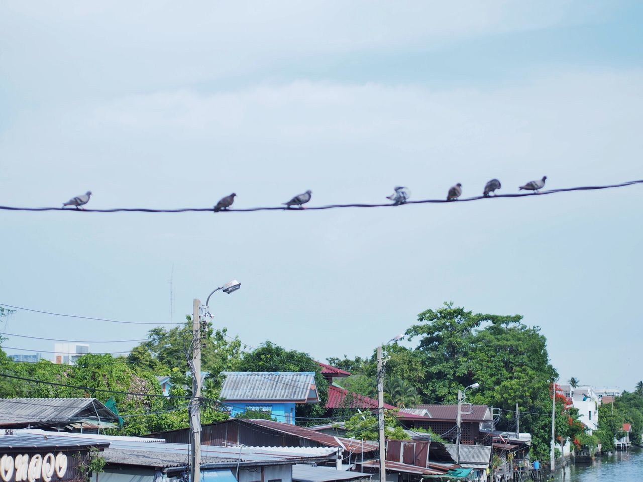 animals in the wild, bird, cable, animal themes, low angle view, animal wildlife, day, perching, outdoors, sky, tree, large group of animals, building exterior, no people, nature, hanging, built structure, architecture, clear sky, telephone line, spread wings